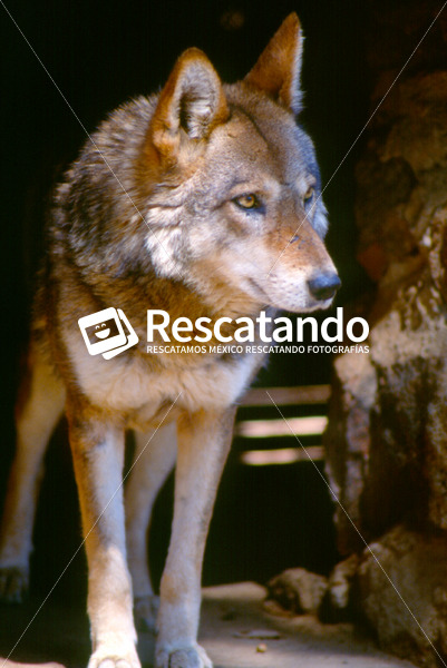Lobo Mexicano - Rescatando