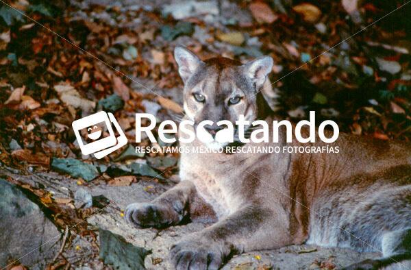 Puma - Rescatando